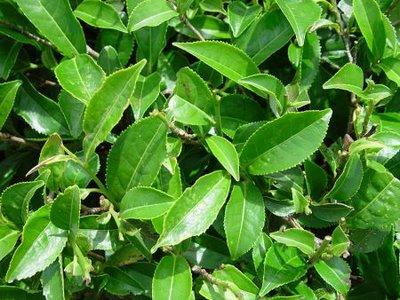 assam-tea-plant2